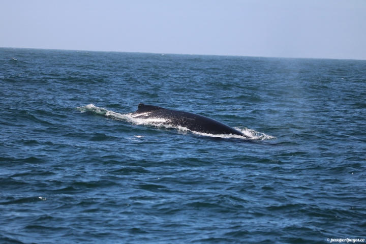 gray-whale-body-moss-landing-california