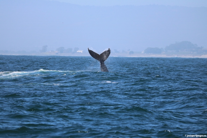 whale-tail-moss-landing-humpback