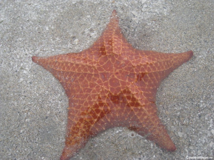 starfish at Playa Estrella in Panama, Isla Colon