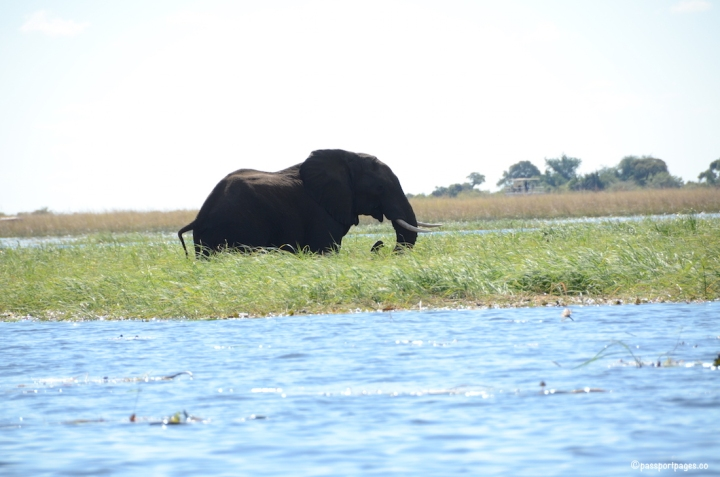 adult-ele-in-chobe-river.JPG