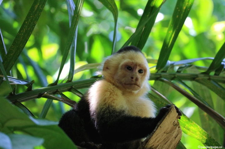 Capuchin-monkey-Costa-Rica-travel-blog-passportpages