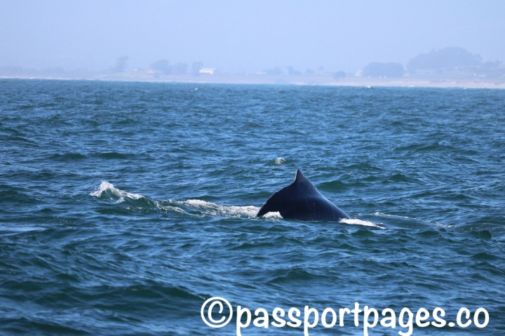 Humpback-hump back-Monterey-Bay-.JPG