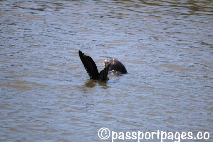 Sea-otter-Monterey-bay.JPG