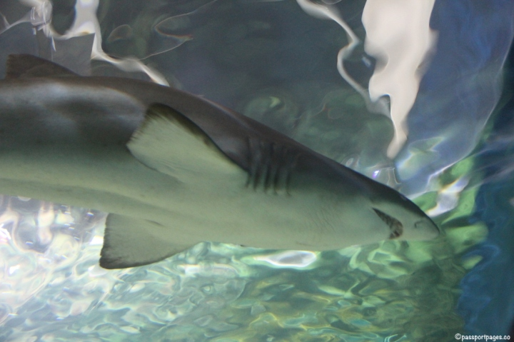 Sydney-Aquarium-shark-passportpages-travel-blog