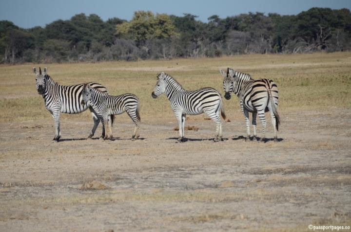 Zebras-Africa-Hwange