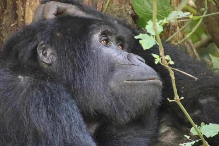 Gorilla-Bwindi-Uganda-trekking