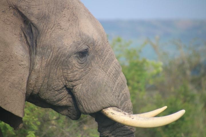 safari-Uganda-elephant-Murchison-Falls
