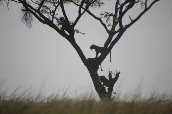 tree-climbing-lions-Uganda-Ishasha-Queen-National-Park
