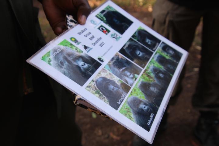 1-mountain-gorilla-trek-uganda-africa-safari-bwindi-bitukura-silverback
