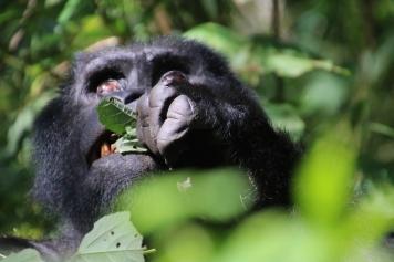 10-mountain-gorilla-trek-uganda-africa-safari-bwindi-orugozo-silverback