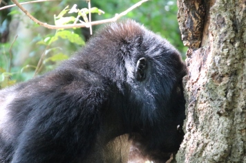This gorilla got so close to me, I only had time to slide down a hill so as not to directly touch!