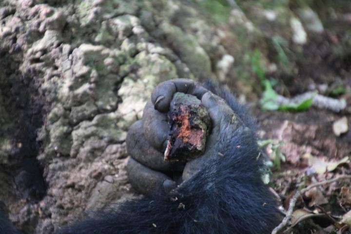 12-mountain-gorilla-trek-uganda-africa-safari-bwindi-bitukura-silverback