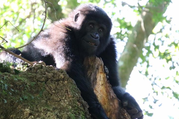 13-mountain-gorilla-trek-uganda-africa-safari-bwindi-bitukura-silverback