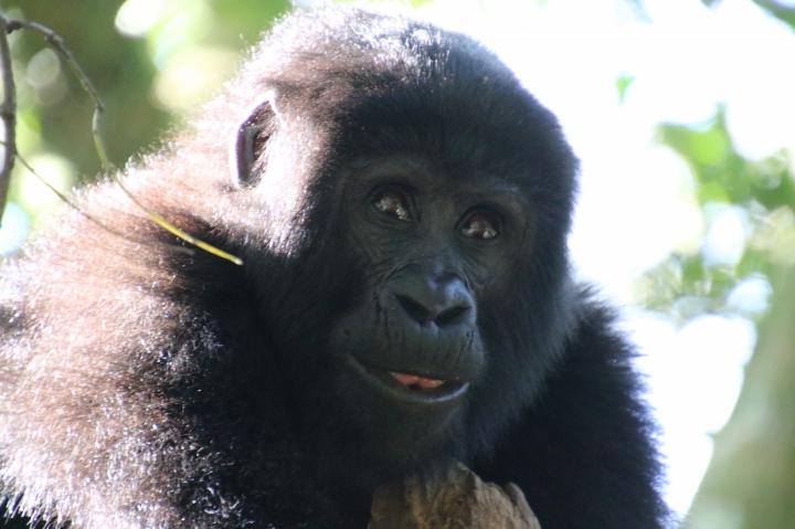 14-mountain-gorilla-trek-uganda-africa-safari-bwindi-bitukura-silverback