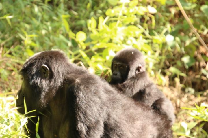 14-mountain-gorilla-trek-uganda-africa-safari-bwindi-orugozo-silverback
