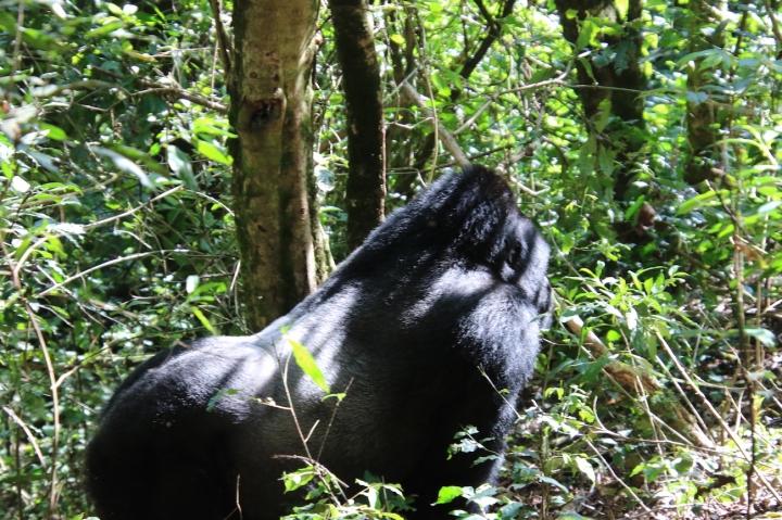 2-mountain-gorilla-trek-uganda-africa-safari-bwindi-bitukura-silverback