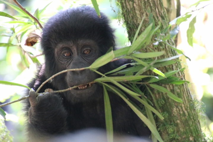 3-mountain-gorilla-trek-uganda-africa-safari-bwindi-bitukura-silverback