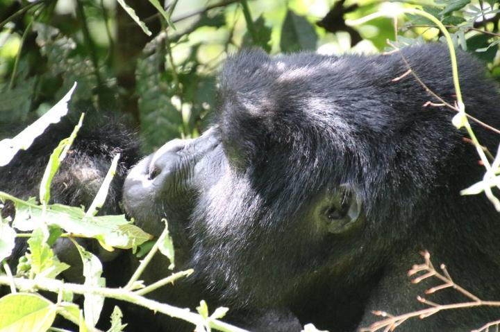 3-mountain-gorilla-trek-uganda-africa-safari-bwindi-orugozo-silverback