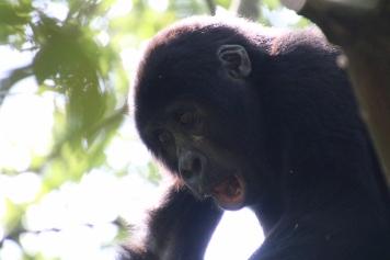 31-mountain-gorilla-trek-uganda-africa-safari-bwindi-orugozo-silverback