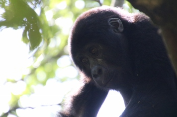 32-mountain-gorilla-trek-uganda-africa-safari-bwindi-orugozo-silverback