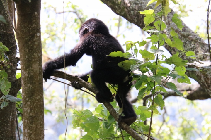 33-mountain-gorilla-trek-uganda-africa-safari-bwindi-orugozo-silverback