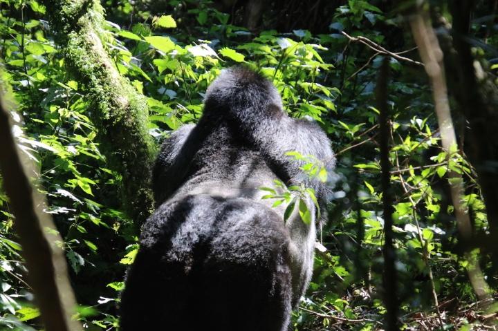 4-mountain-gorilla-trek-uganda-africa-safari-bwindi-bitukura-silverback