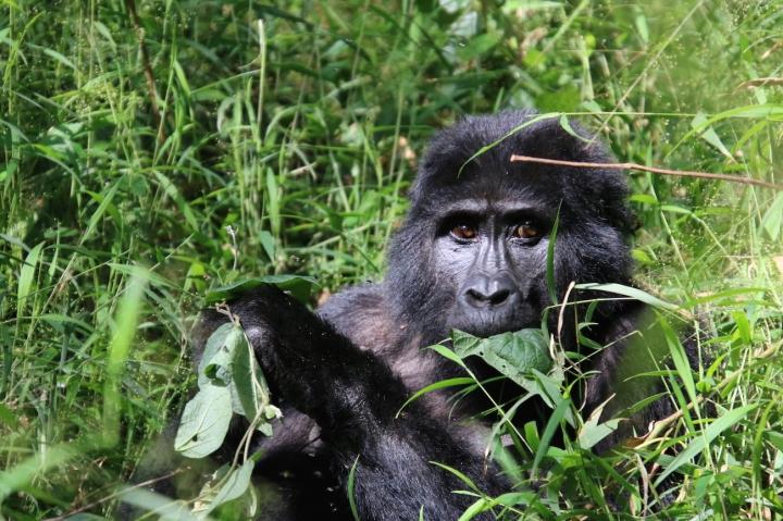 4-mountain-gorilla-trek-uganda-africa-safari-bwindi-orugozo-silverback