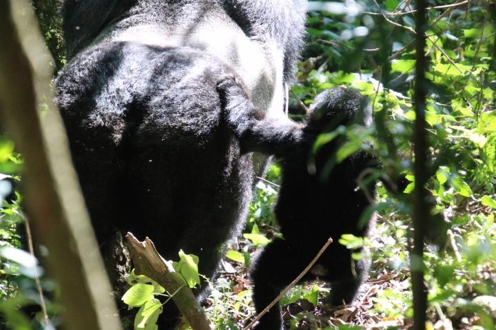 5-mountain-gorilla-trek-uganda-africa-safari-bwindi-bitukura-silverback