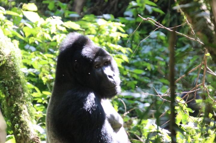 6-mountain-gorilla-trek-uganda-africa-safari-bwindi-bitukura-silverback