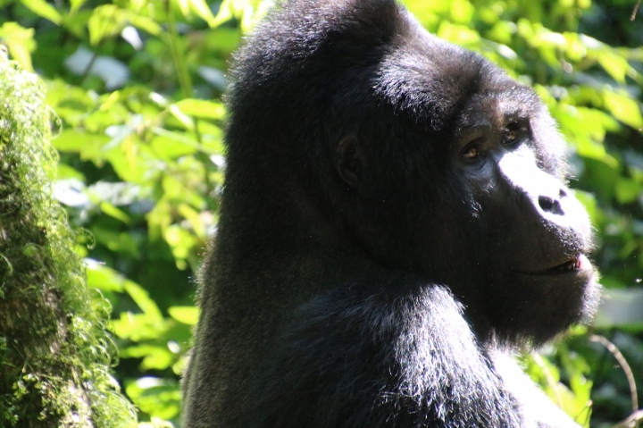 7-mountain-gorilla-trek-uganda-africa-safari-bwindi-bitukura-silverback
