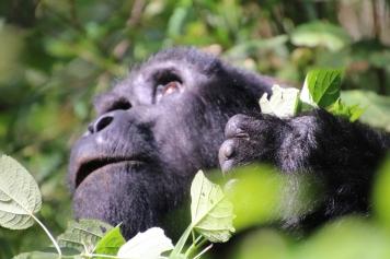 9-mountain-gorilla-trek-uganda-africa-safari-bwindi-orugozo-silverback